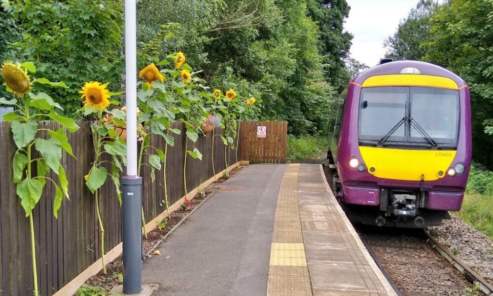 Sunflowers and train at Ambergate