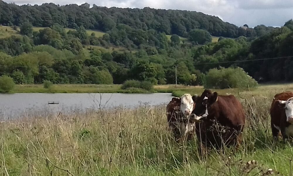 Wyver Lane and cows